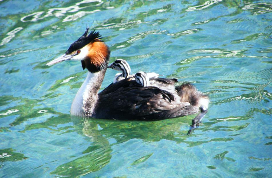 A southern crested grebe with two grebelings riding on its back swims at the Steamer Wharf in 2009.