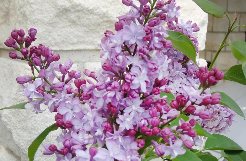 Buy lilacs in bloom if possible. This General Pershing was a much paler colour than I expected.