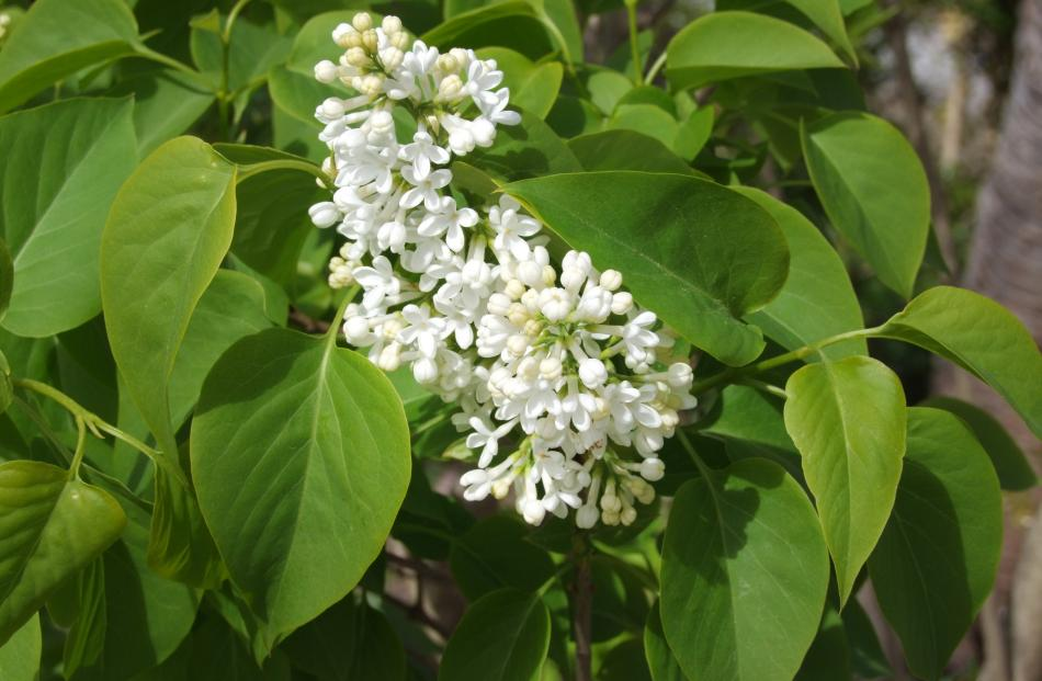 An old lilac in a farm garden, possibly Syringa x persica Alba.