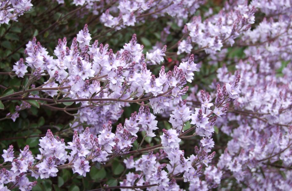 Sometimes referred to as New Zealand lilac, Heliohebe hulkeana is not related to the European...