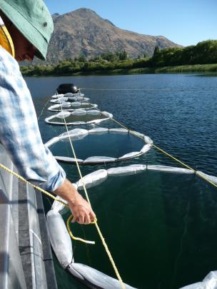 Taking limnocorrals on Lake Hayes from enclosures for experiments on phosphorus cycling in 2010....