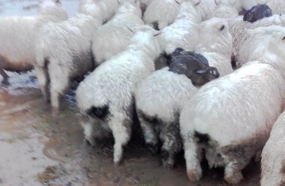 These smart rabbits took refuge from flood waters on the back of sheep. Photo: Richard Horne
