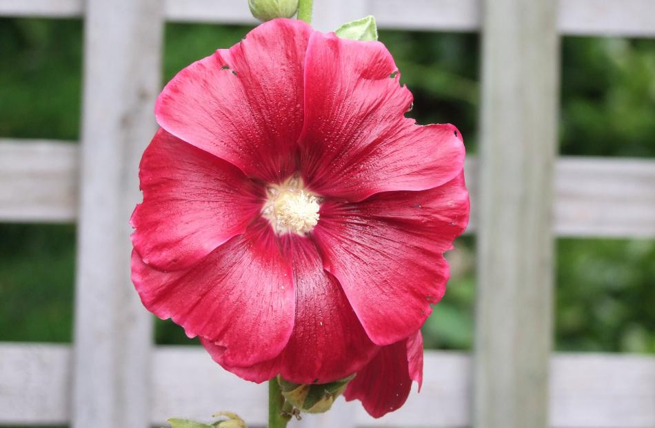 Touching hollyhock leaves can cause dermatitis, so those with sensitive skin may prefer to shun...