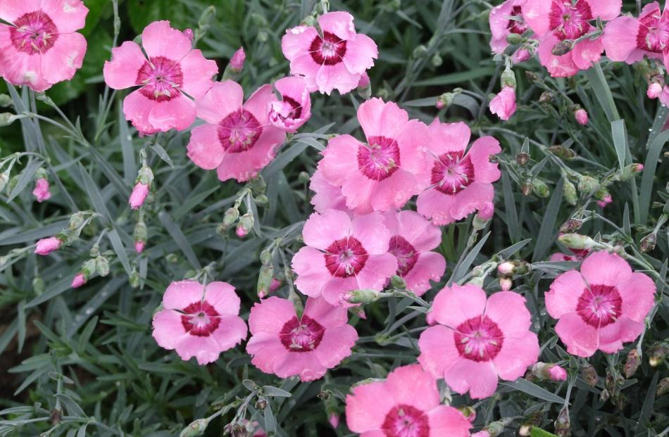 Dianthus petals have a slightly spicy taste.