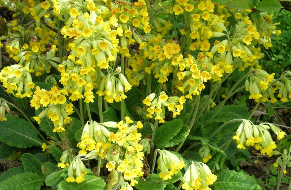 Cowslips, like other members of the primula family, are edible.