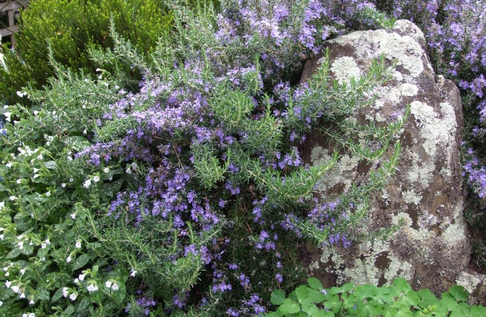 Many herbs, including rosemary, have flowers that taste like the leaves but are less pungent.