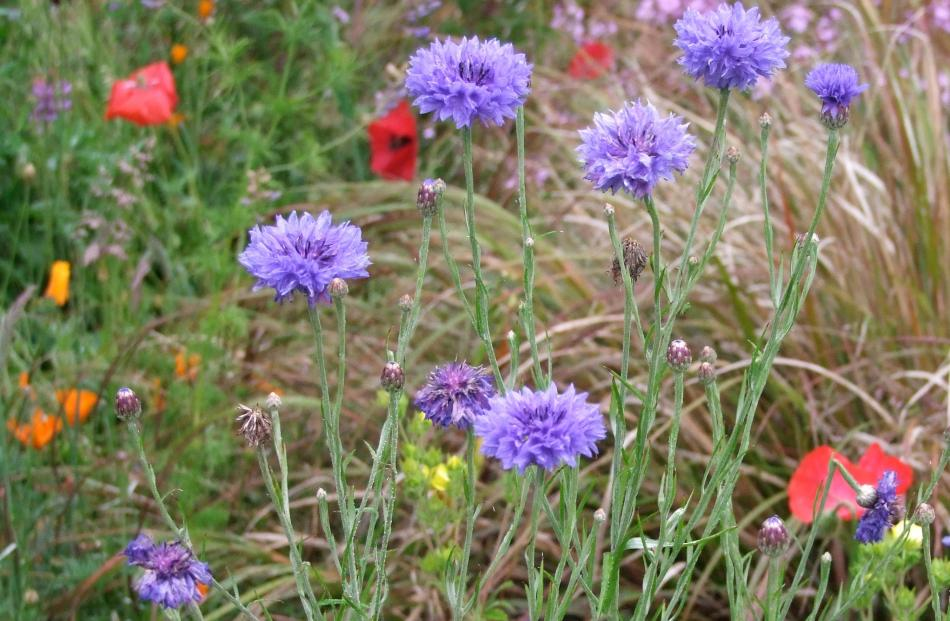 As well as blue (pictured), cornflowers can be pink, white or purple.
