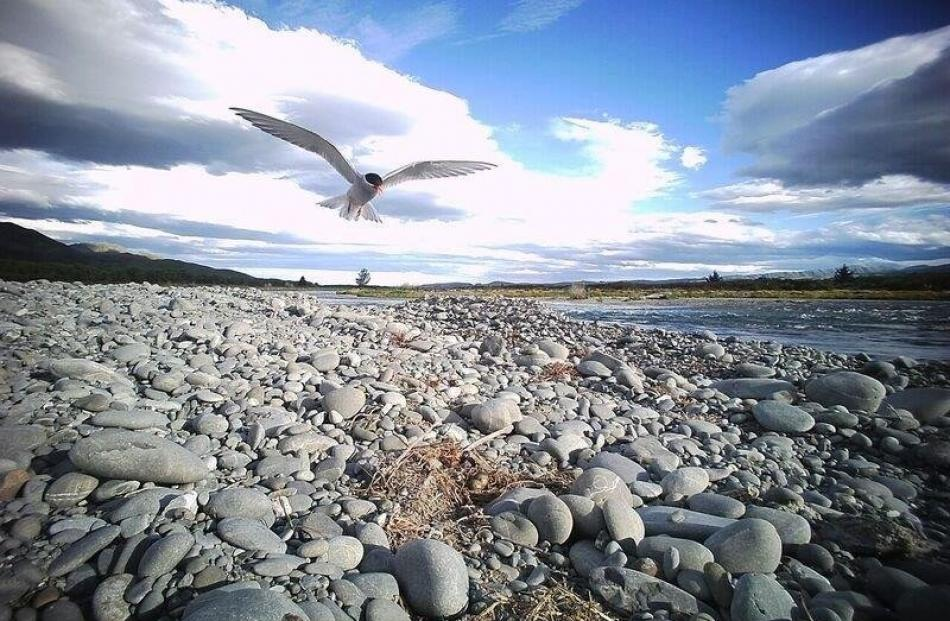 A black fronted tern flies over one of the islands.