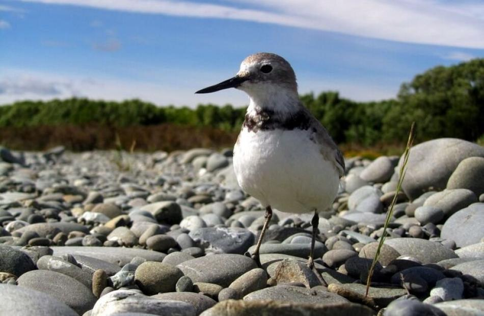 A wrybill checks out a new habitat. Photos: Ann-Kathrin Schlesselmann.