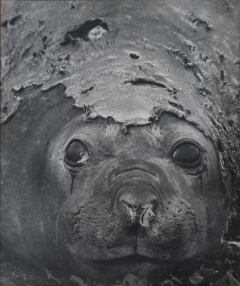 A keen photographer himself, Mr Darby took this shot of a female elephant seal during a...