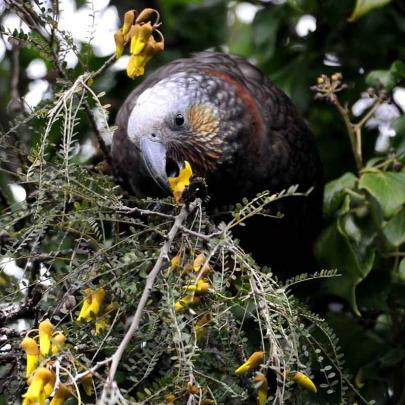 This unbanded adult kaka has been spotted enjoying the Saddle Hill flora during the past week....