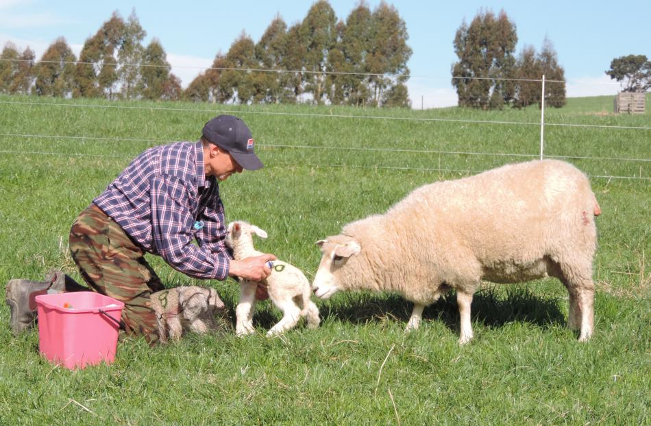 Julian Price spray-paints an identification number on a triplet. The other two lambs wait under fishing nets as their mother supervises proceedings.