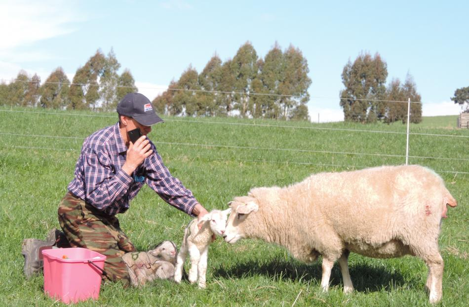 Julian Price ensures the ewe is comfortable with her lambs while he records details of the lambs' arrival and condition on his smartphone.