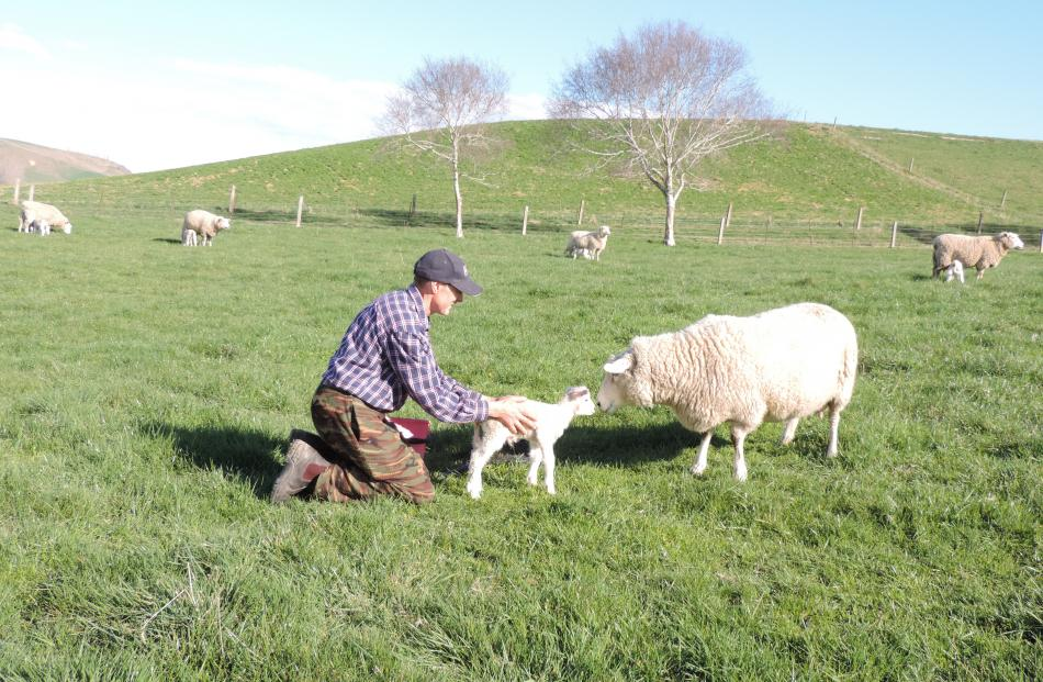 Julian Price releases a lamb back to its mother in Creedmoor's front paddock.