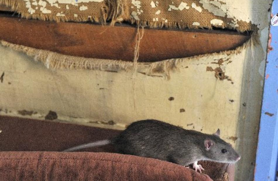 One of four pet rats in the award-winning worst student flat, in Union St West.