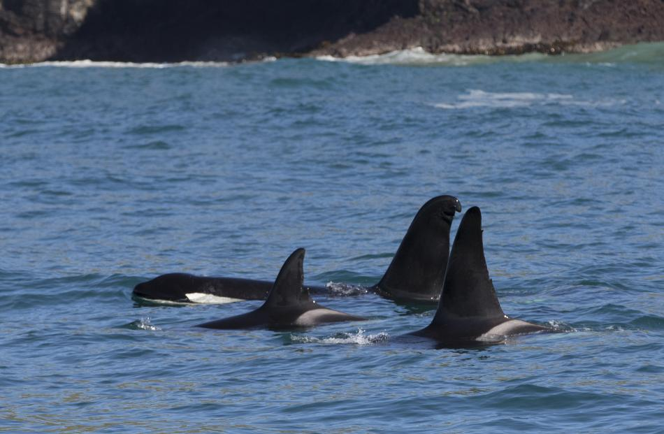 A pod of orca hanging out in Dunedin Harbour yesterday. Photos: Shaun Wilson