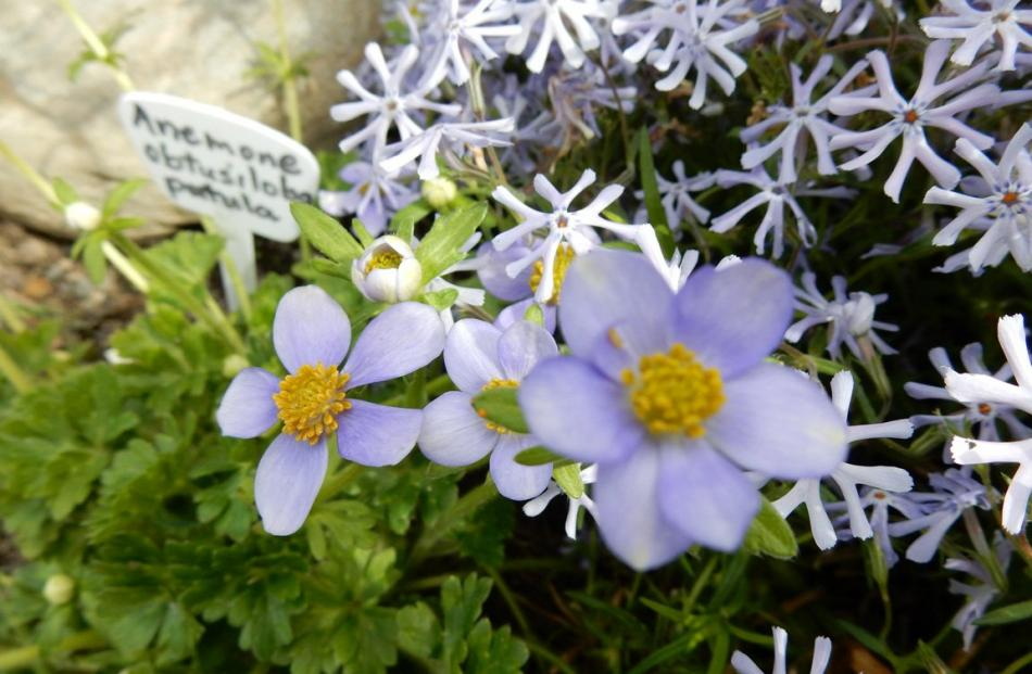 The colours of Anemone obtusiloba are complemented by the starry flowers of Phlox bifida.