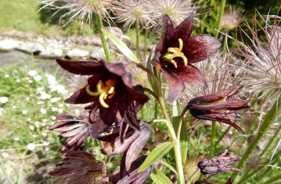 A pulsatilla's downy seed-heads provide the ideal background to a chocolate flowered fritillaria.