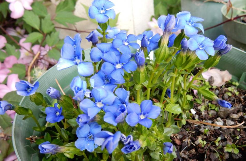Gentiana verna is smothered in sky-blue blooms.