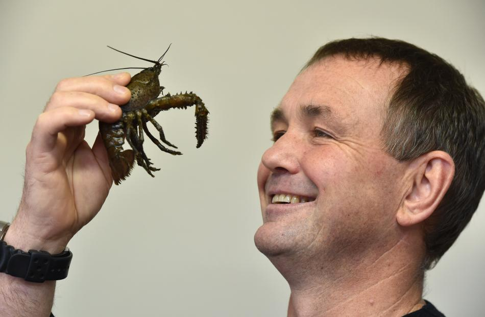 John Hollows with Keewai's crayfish which will feature in the Dunedin dinner. Photo: Gregor Richardson