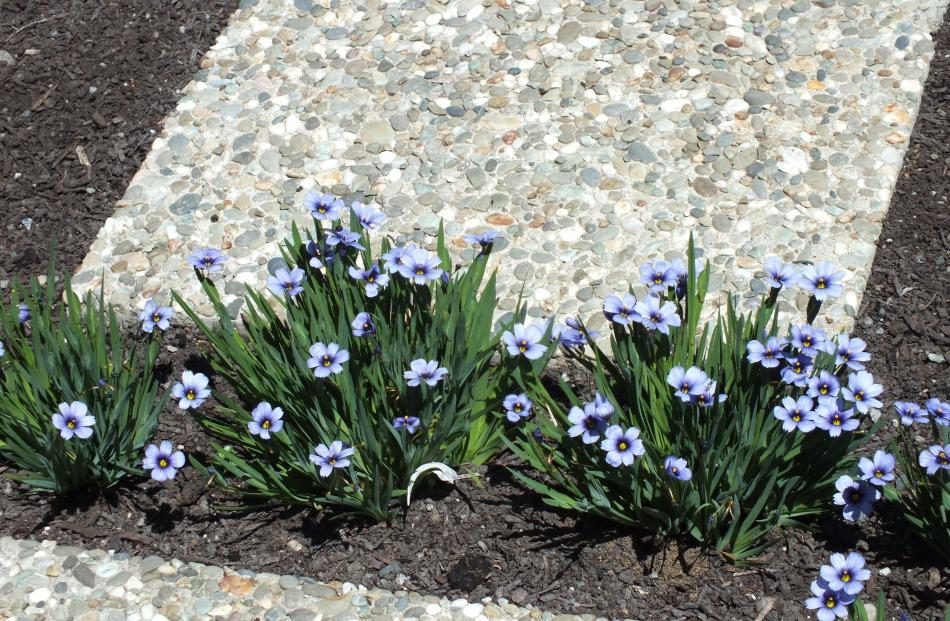 Blue Sisychrinum growing between pavers