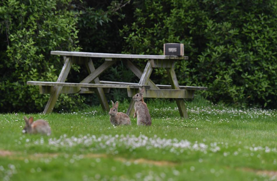 Moeraki is  overrun with rabbits.