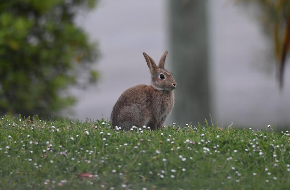 Moeraki is  overrun with rabbits. Photos: Stephen Jaquiery