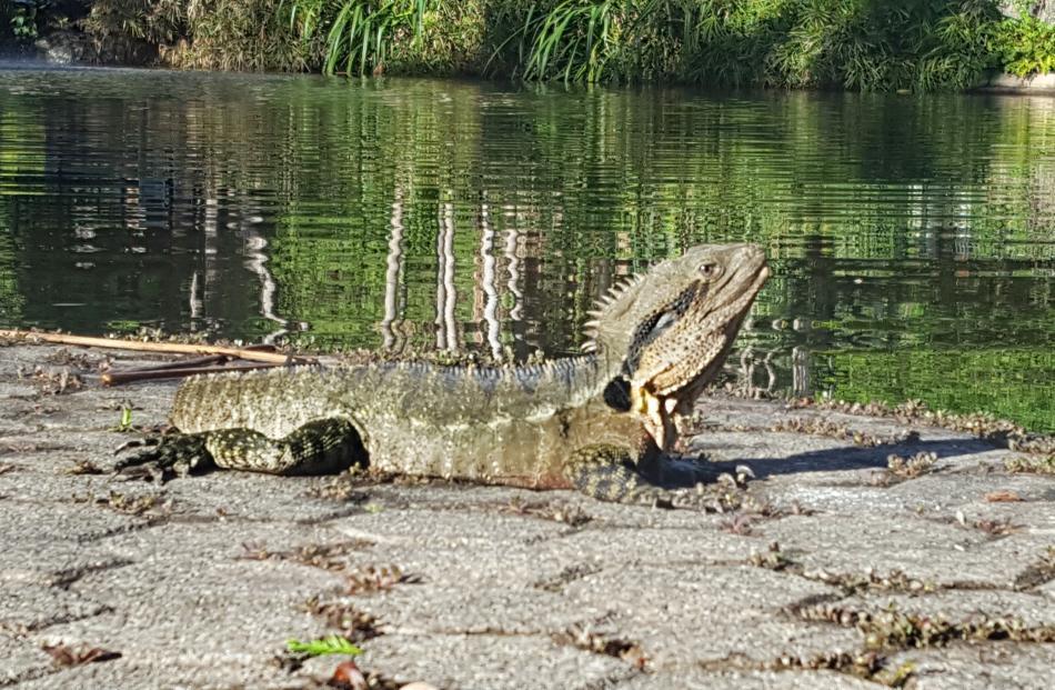 A lizard suns itself at the City Botanic Gardens.