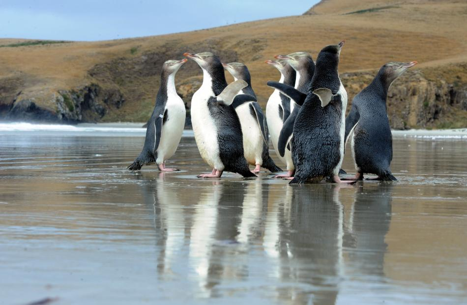 Rescued penguins on an Otago Peninsula beach. Photo: Craig Baxter