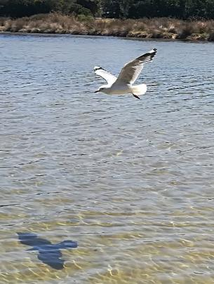 A young red-billed gull in flight at Brighton Beach on Thursday. Photo: Kara Lyall