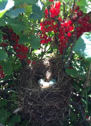 A bird's nest discovered while harvesting redcurrants on December 27 at Millers Flat. Photo: Michelle Lorimer