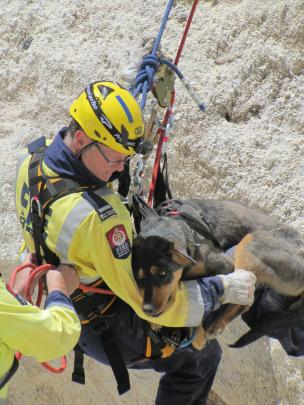 Two year old Huntaway Bowie is harnessed to safety yesterday after becoming stuck on a cliff...