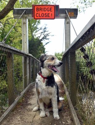 Golly the dog pauses on the footbridge yesterday after unknown persons removed wooden boards and a sign blocking access.