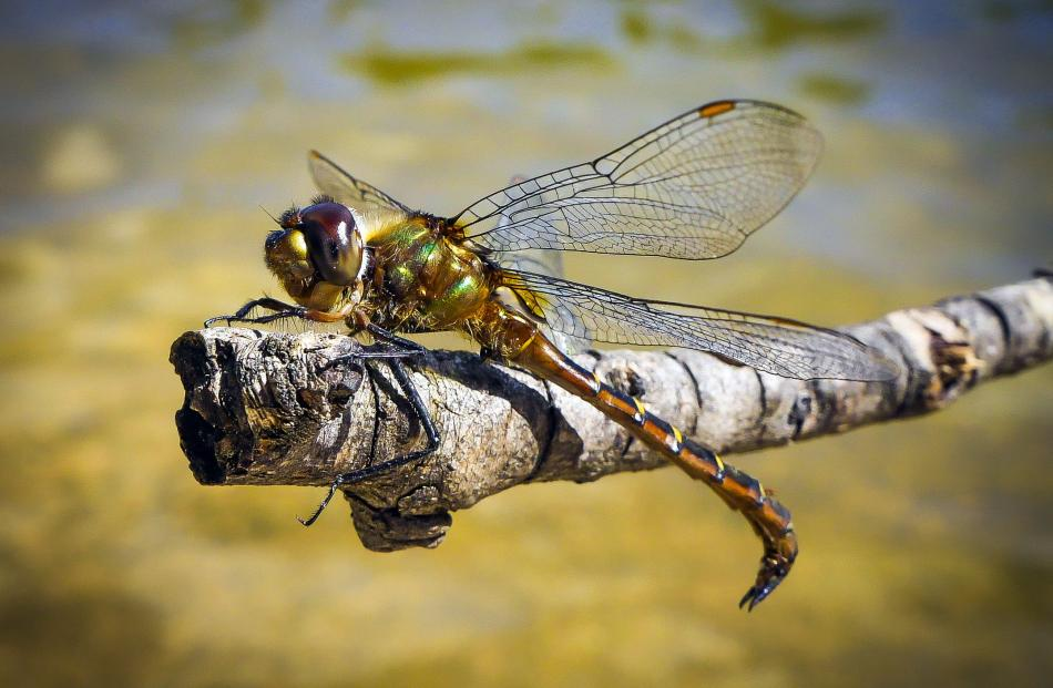 A dragonfly rests at the Naseby Swimming Dam. Photo: Jack Aubin