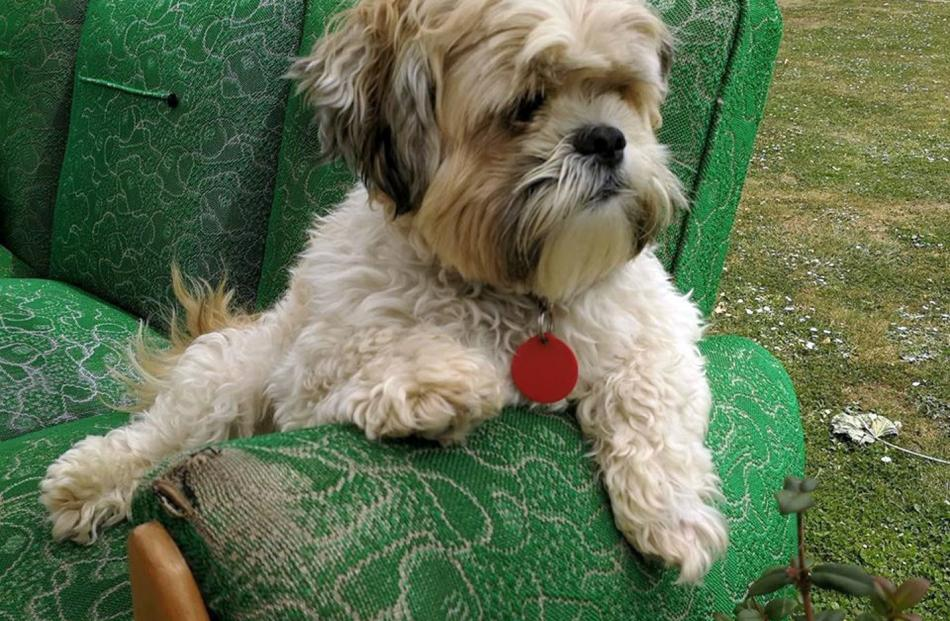 Shitzu-cross ''Wilson'' Pringle, of Palmerston, rests on his armchair after a walk. Photo: Lois...
