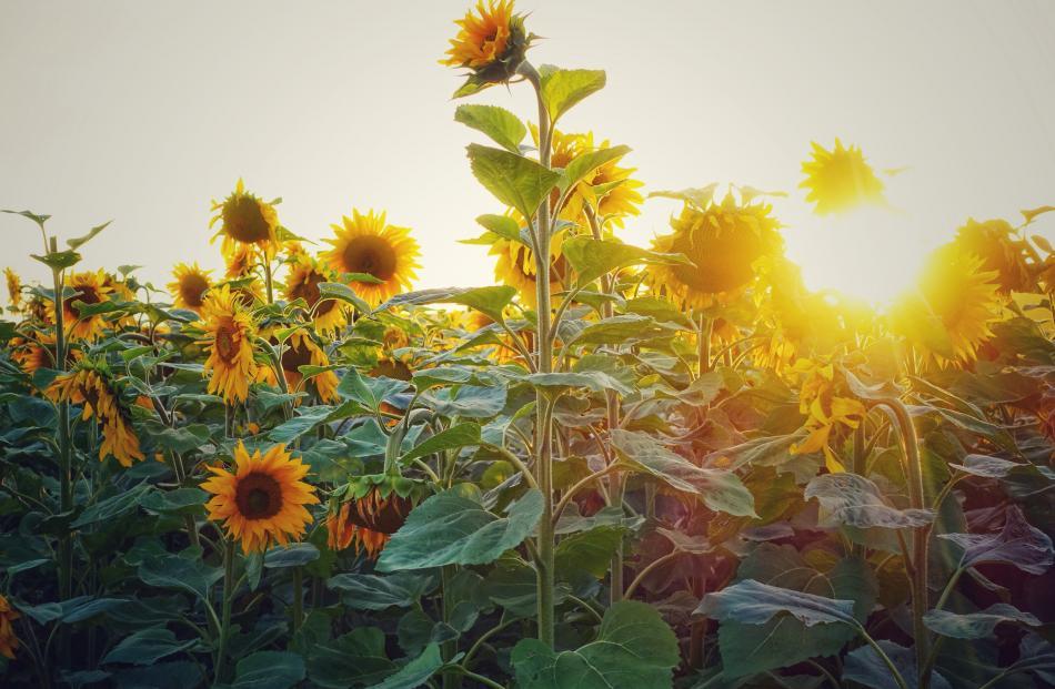 Sunflowers at sunset, Awamoa, Waitaki district. Photo: Clare Kearney