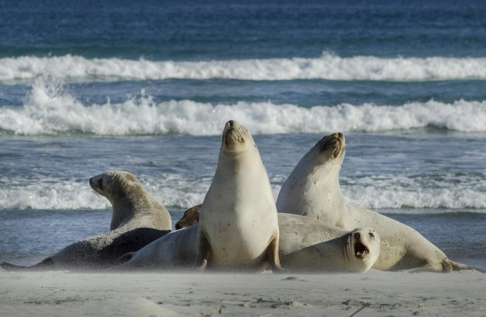 Sea lions wake from a siesta at Smaills Beach. Photo: Kathy Richards