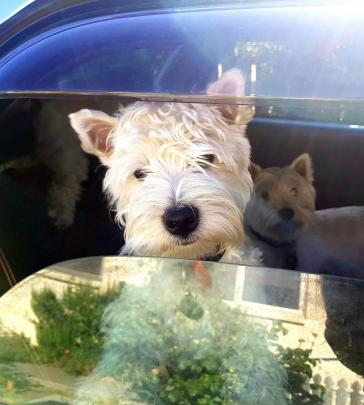 West highland terrier Fynn (6 months) waits eagerly in the car. Photo: Gerry Hunter