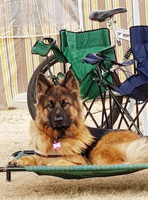 Mela relaxes on her bed while camping in Omakau last week. Photo: Shanon Arnold