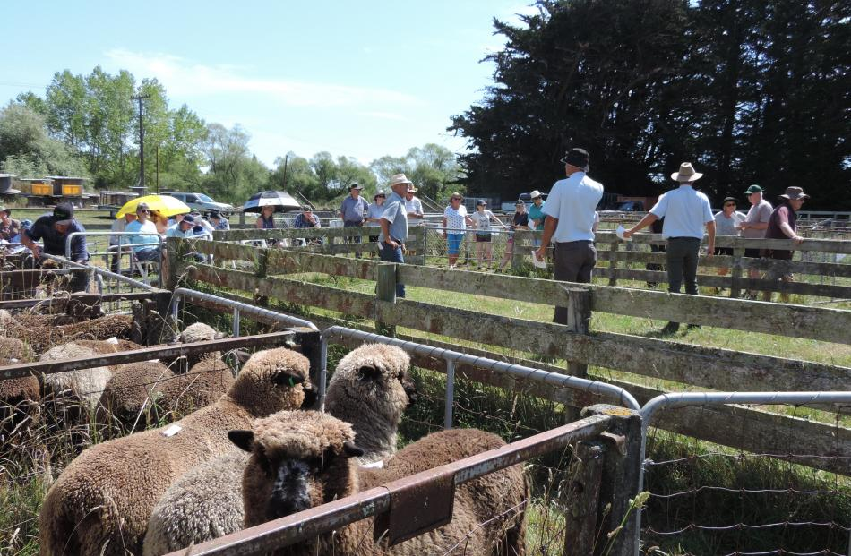 A sheep awaiting its turn in the ring gets close to the lens as the sale continues in the background.