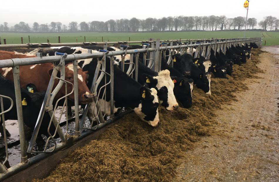 Cows eat silage on a topless cubicle in Ireland.