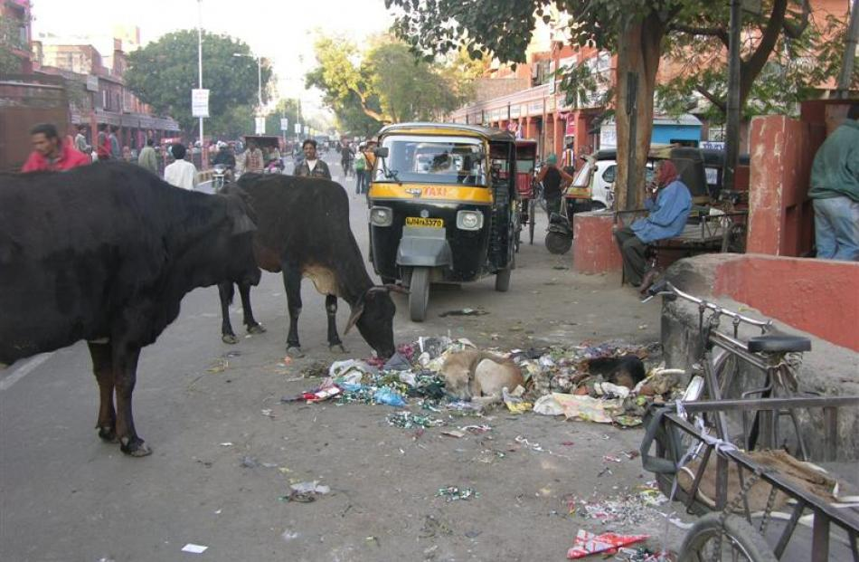 A pile of rubbish is nosed at by cows and stray dogs in Jaipur. Photo by Charmain Smith.