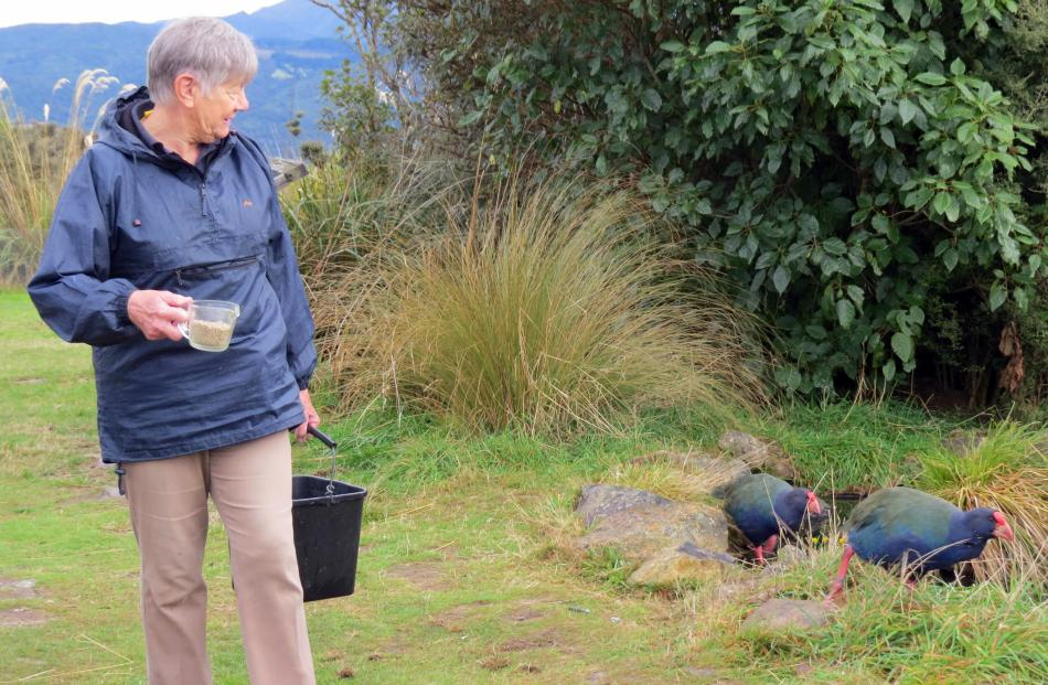 The takahe come running for their daily half-cup of pellets.