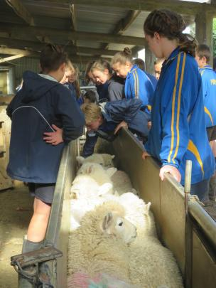 The school pupils get a chance to touch growing wool as Newhaven Farms sheep are run up the race.