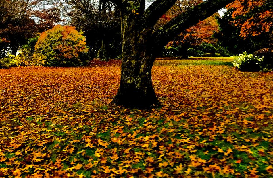 Leaves at Mosgiel Park. PHOTO: Erin Dickie