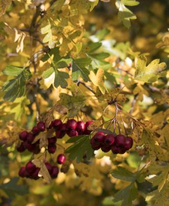 Hawthorn berries on the Clutha Gold Trail. PHOTO: Angela Pope