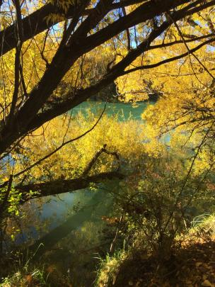 Willows lean into the Clutha River. PHOTO: Ida Treleaven