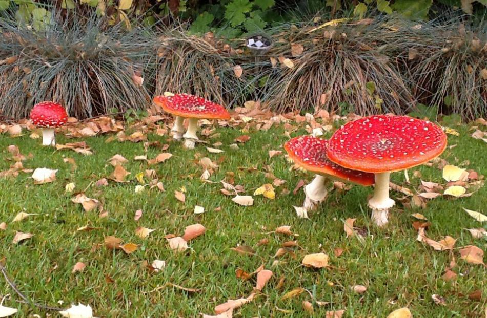 Toadstools in Wanaka. PHOTO: Keith Barclay