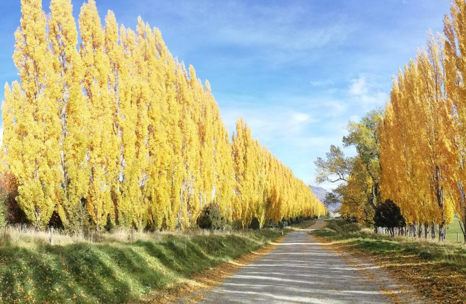 Poplars line a back road near Frankton. PHOTO: Sandy Boyd
