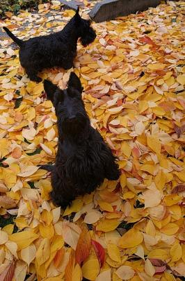 Scottish terriers Davey and Gina enjoy some Maniototo leaves. PHOTO: Maryanne Devereux